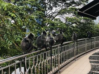 マレーシアの野生の猿の写真・画像素材[3158369]