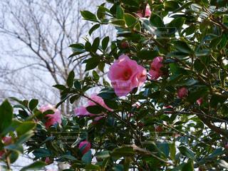 椿の木の写真・画像素材[3167433]