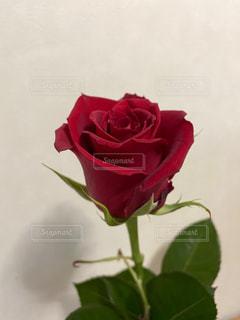一輪の赤いバラの写真・画像素材[3188012]