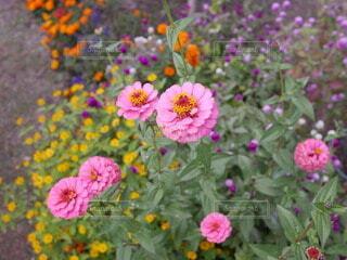 ピンクの花の写真・画像素材[3899408]