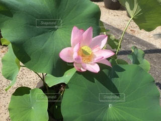 蓮の花の写真・画像素材[3899751]