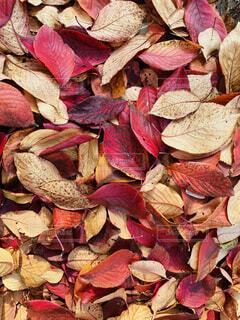 赤い落ち葉の写真・画像素材[3899970]
