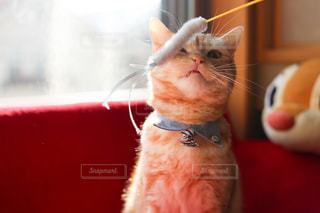 猫の写真・画像素材[126404]