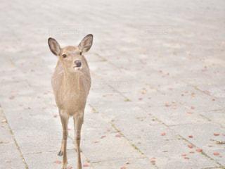 奈良の鹿の写真・画像素材[3157866]