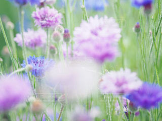 矢車草の写真・画像素材[3157881]