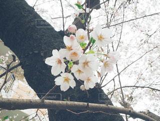 桜の写真・画像素材[3157970]