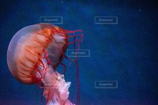 水中のアカクラゲの写真・画像素材[4142196]