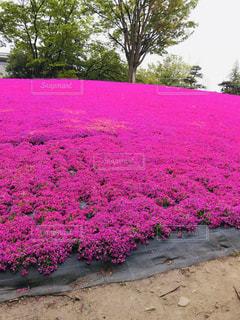 芝桜の写真・画像素材[3160456]