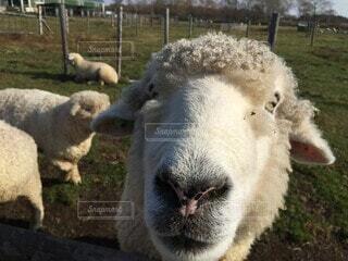 羊の日常の写真・画像素材[4873334]