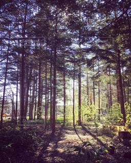 森林地帯の木の写真・画像素材[3162415]