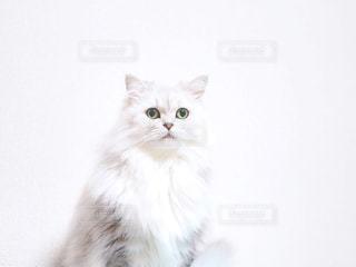 白い背景の上に座っている猫の写真・画像素材[844333]