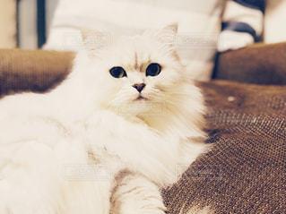 猫の写真・画像素材[879203]
