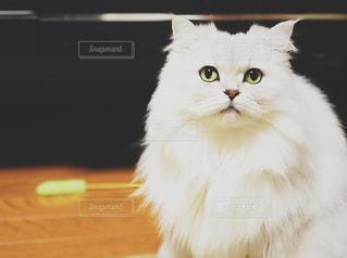 その口を開いて白猫の写真・画像素材[879204]