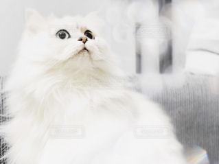 白猫の写真・画像素材[879206]