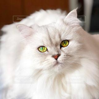 緑目の白猫の写真・画像素材[880941]