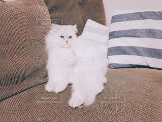 ソファに座った猫の写真・画像素材[1145164]