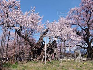 山高神代桜ヨコの写真・画像素材[3223794]
