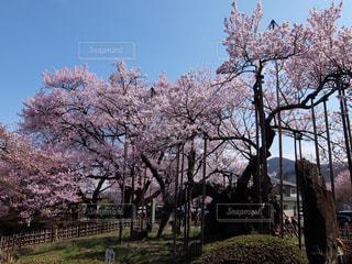 山高神代桜の写真・画像素材[3223792]