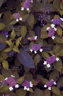 紫色の集合の写真・画像素材[3341909]