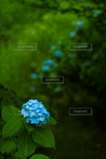 紫陽花の写真・画像素材[3341910]