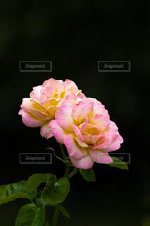 ピンクのばらの写真・画像素材[4627923]