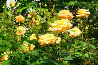 薔薇の写真・画像素材[3170860]