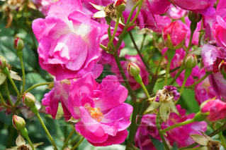 色薔薇の写真・画像素材[3170859]