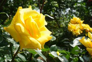 黄薔薇の写真・画像素材[3170858]