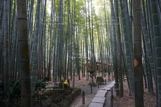 竹の新緑の写真・画像素材[3170926]