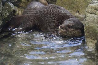 水のプールで泳ぐカワウソの写真・画像素材[3170949]