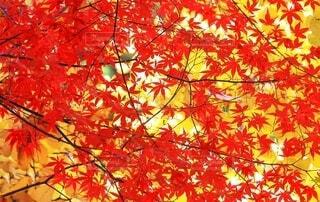 秋の背景素材 紅葉と黄葉の写真・画像素材[3708934]