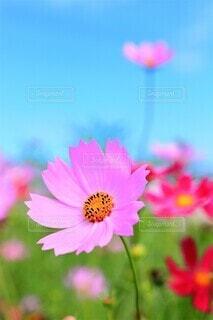 爽やかな秋晴れとコスモスの花畑の写真・画像素材[4781672]