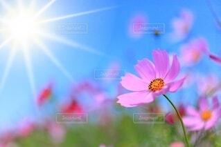 コスモス 秋晴れの花畑の写真・画像素材[4787139]