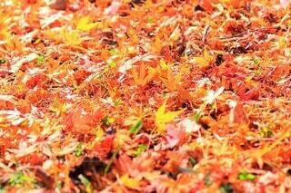 落ち葉の絨毯の写真・画像素材[4799341]