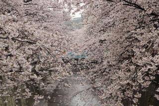 目黒川桜祭り3の写真・画像素材[3302788]