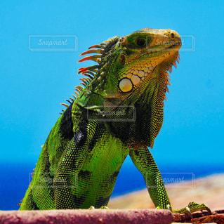 イグアナ プエルトリコ サンファン要塞の写真・画像素材[3174925]