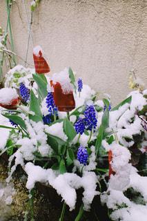 春の雪の写真・画像素材[3224554]