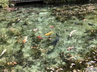池の鯉の写真・画像素材[3179730]