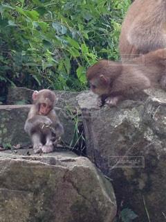 岩の上に座っている猿の写真・画像素材[3181927]