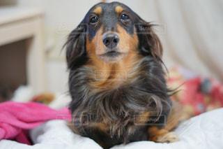 犬の写真・画像素材[699654]
