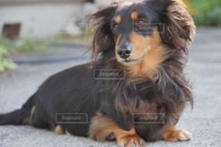地面に横たわっている茶色と黒犬の写真・画像素材[1114865]