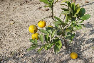汚れフィールド上に座ってオレンジを 2 個の写真・画像素材[1414610]