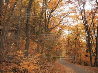森の中の紅葉の写真・画像素材[3177090]