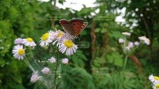 蝶々の写真・画像素材[3308242]