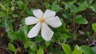 緑の葉が咲く白い花の写真・画像素材[3311148]
