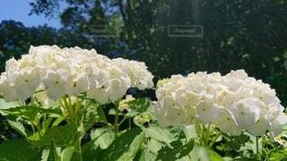 白いアジサイの写真・画像素材[3352944]