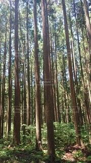 杉林の写真・画像素材[3396286]