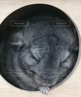 チンチラの寝顔の写真・画像素材[3177267]