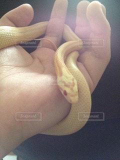 ヘビを持つ手の写真・画像素材[3177434]