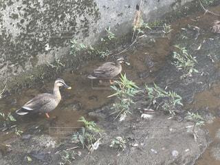 鴨の写真・画像素材[3178912]